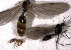 Eldsmyror (hona & hane) (Solenopsis). Foto: S.E. Thorpe